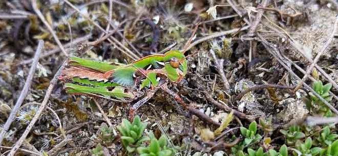Oedipode soufre (Oedaleus decorus) - Forêt de Fontainebleau