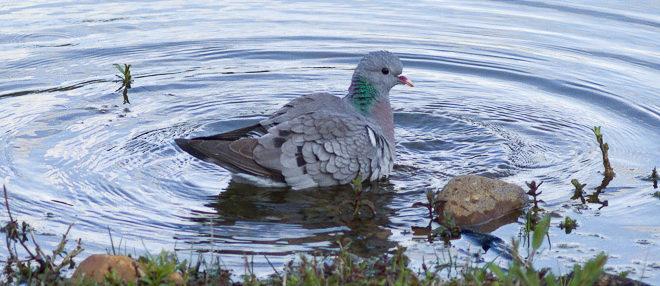 Pigeon colombin (Columba oenas) - Oiseau de la forêt de Fontainebleau