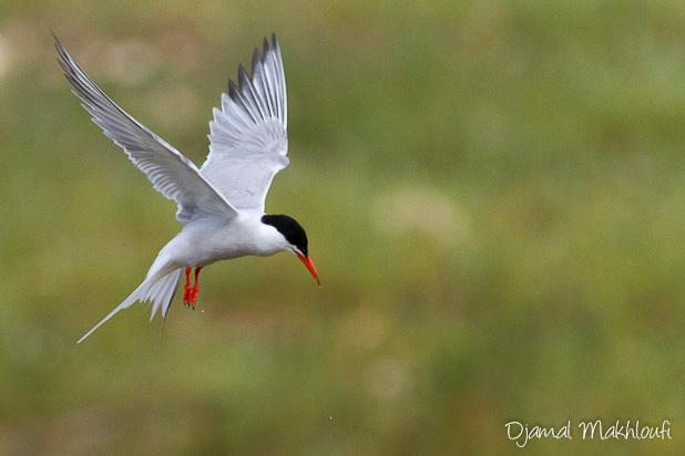 Sterne Pierregarin (Sterna hirundo) - Oiseau de mer - Oiseau aquatique - photo