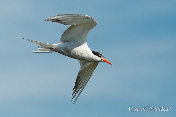 Sterne Pierregarin (Sterna hirundo) - Oiseau grégaire - photo