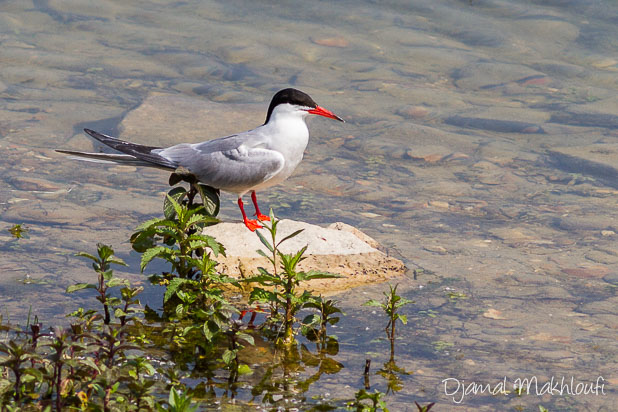 Sterne Pierregarin (Sterna hirundo) - Oiseau palmipède - Photo