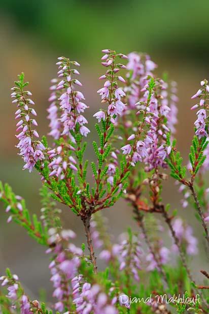 Callune (Calluna vulgaris) - Bruyère ou bruyère callune - photo