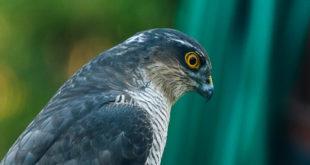 Épervier d'Europe (Accipiter nisus) - Rapace de la forêt de Fontainebleau