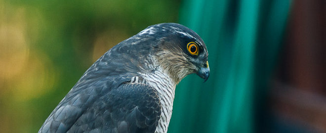 Épervier d'Europe (Accipiter nisus) - Rapace - Portrait
