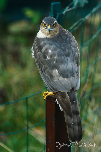 Épervier d'Europe mâle (Accipiter nisus) - rapace forestier - photo
