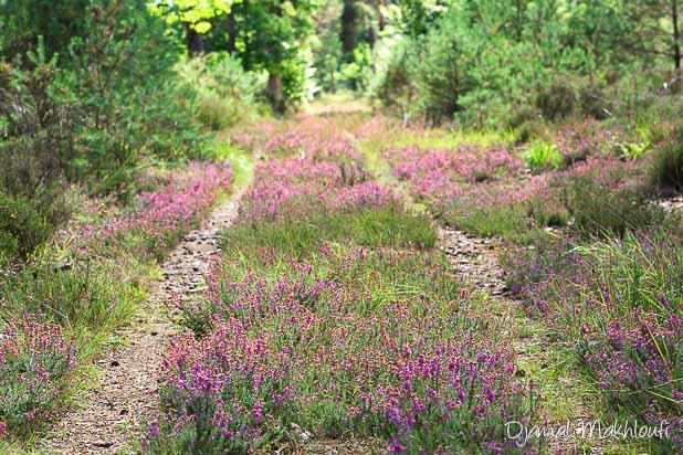 landes de la forêt de Fontainebleau