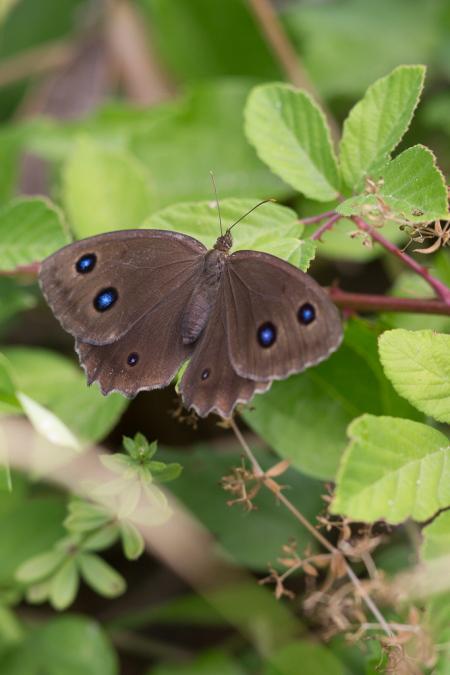 Grand Nègre des bois (papillon de l'Hérault)