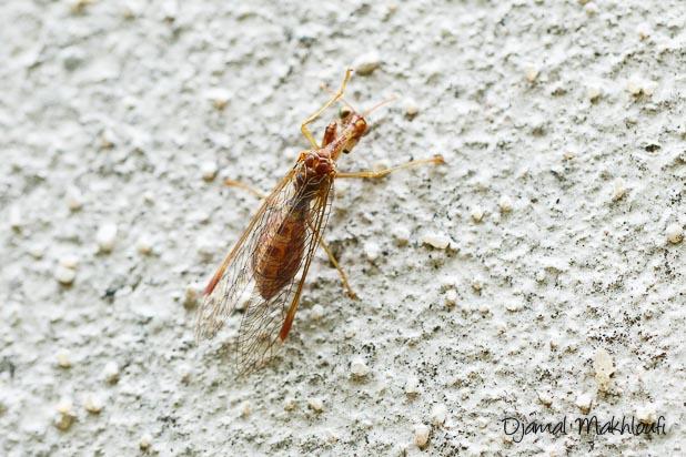 Manstipe commune (Mantispa styriaca) vue de dessus