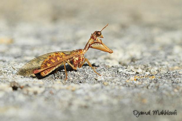 Mantispe commune - Mantispe de styrie
