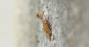 Mantispe commune - Mante