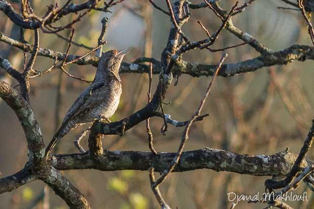 Torcol fourmilier (Jynx torquilla) - Oiseau migrateur - Photo
