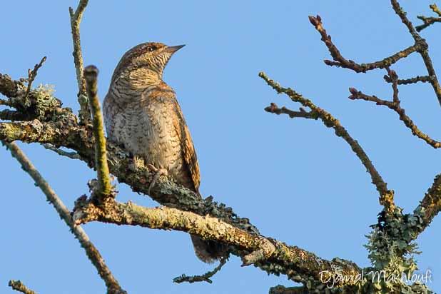 Torcol fourmilier (Jynx torquilla) - Oiseau de la forêt de Fontainebleau