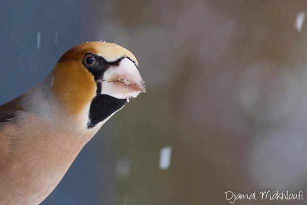 Gros-bec casse-noyaux - Oiseau - photo