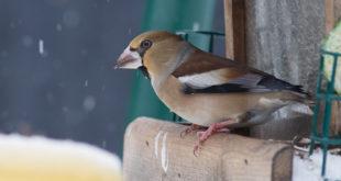Gros-bec casse-noyaux - Oiseau de la forêt de Fontainebleau