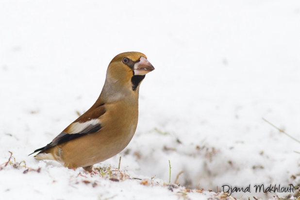 Gros-bec casse-noyaux (Coccothraustes coccothraustes) - Oiseau gros cou