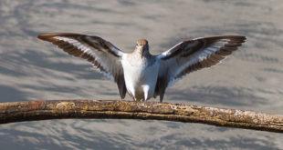 Chevalier guignette ailes ouvertes