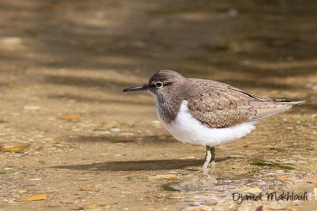 Chevalier guignette (Actitis hypoleucos) Oiseau de la forêt de Fontainebleau - Photo