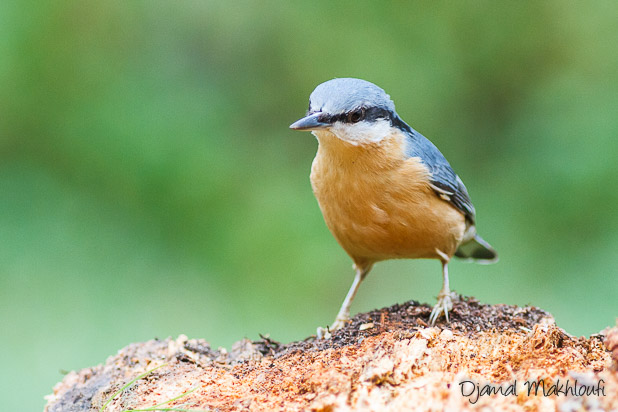 Sittelle torchepot (Sitta europaea) - Oiseau du jardin - Photo