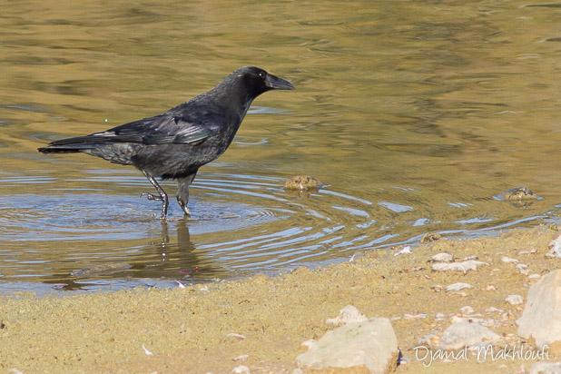 Corneille noire (Corvus corone) - Oiseau noir corbeau