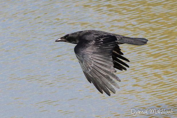 Corneille noire en vol
