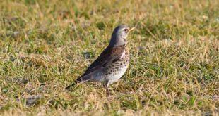 Grive litorne (Turdus pilaris) - Oiseau migrateur