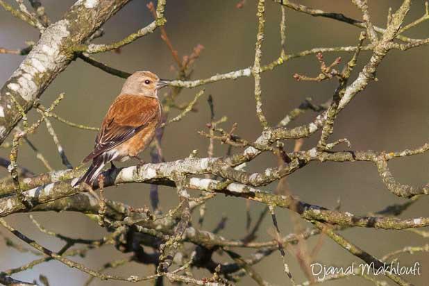 linotte mélodieuse (Linaria cannabina) - photo - Oiseau de la forêt de Fontainebleau