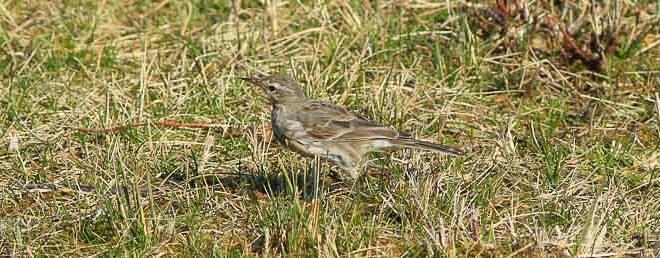 Pipit spioncelle (Anthus spinoletta) - L'oiseau montagnard