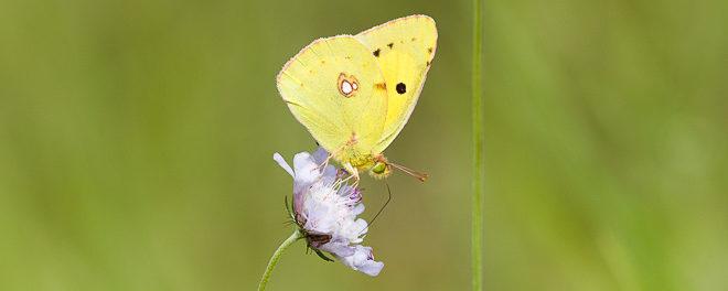 Souci (papillon) Colias crocea - papillon de jour (forêt de Fontainebleau)