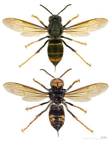 photo Frelon asiatique (Vespa velutina) - photo insecte vue de dessus et de dessous