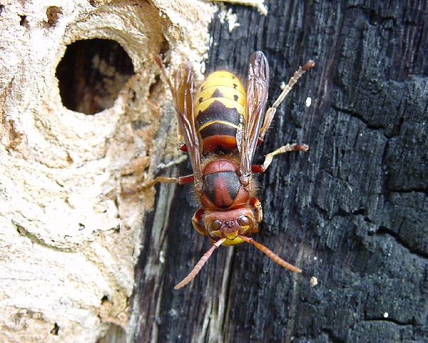 Photo frelon européen (Vespa crabro)