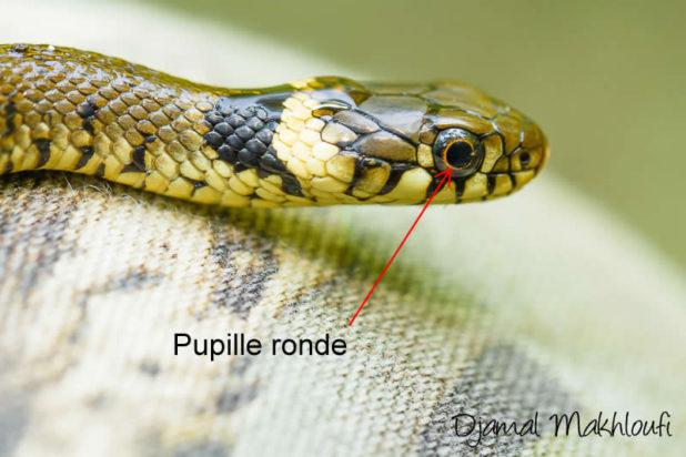Pupille de la couleuvre à collier - Vipère ou couleuvre ?