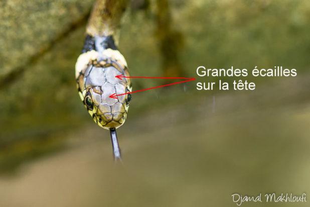 Grandes écailles sur la tête de la couleuvre - Vipère ou couleuvre ?