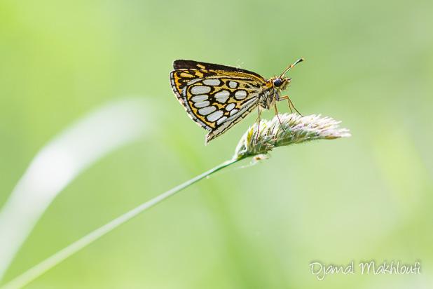 Hespérie à miroirs (Heteropterus morpheus) - Le Miroir papillon vue de dessous - photo