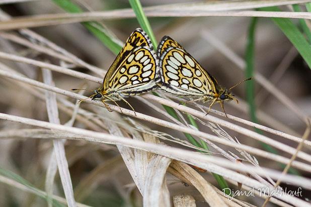 Accouplement de l'Hespérie à miroirs (Heteropterus morpheus) - Le Miroir papillon