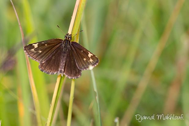 Hespérie à miroirs (Heteropterus morpheus) - Le Miroir papillon ailes ouvertes - photo