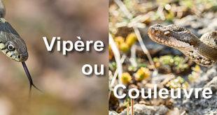 Vipère ou Couleuvre ?