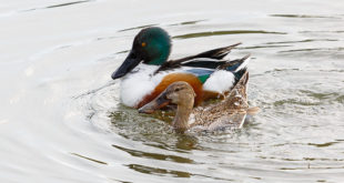 Canard souchet (couple) - Anas clypeata - photo