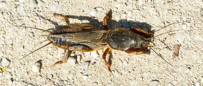 Courtilière - Taupe grillon (Gryllotalpa gryllotalpa)
