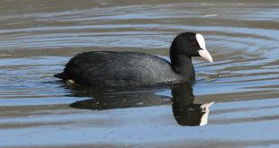 foulque macroule (Fulica atra) - Oiseau aquatique