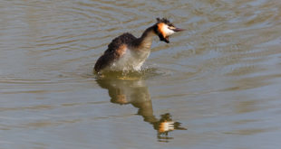 Grèbe huppé (Podiceps cristatus) - oiseau aquatique - photo