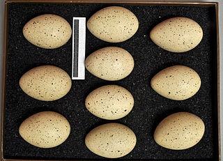 Oeufs de la foulque macroule (Fulica atra)