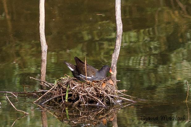 Gallinule poule d'eau (Gallinula chloropus) sur son nid