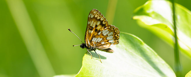 Lucine (Hamearis lucina) - papillon photo