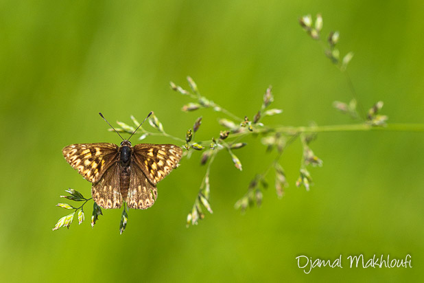 Lucine (Hamearis lucina) - papillon - photo