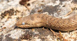 Coronelle lisse (coronella austriaca) - Serpent dangereux et venimeux ?