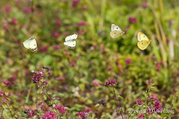 Colias en vol - Comment photographier les papillons en vol ?