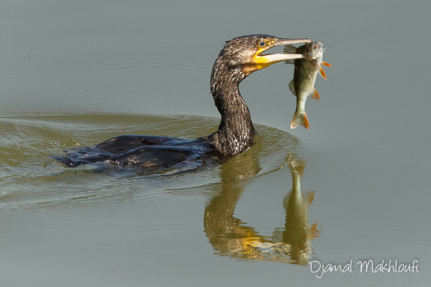 Grand Cormoran (Phalacrocorax carbo) avec une perche dans le bec - photo