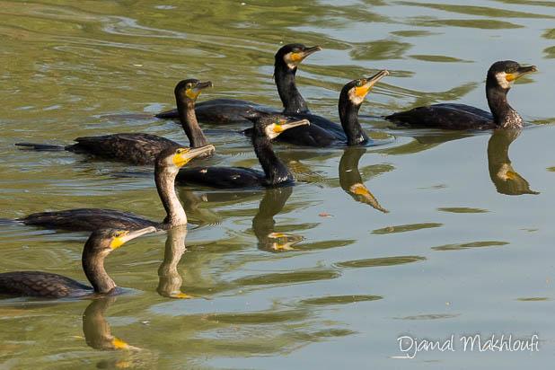Groupe de Grands Cormorans en pêche