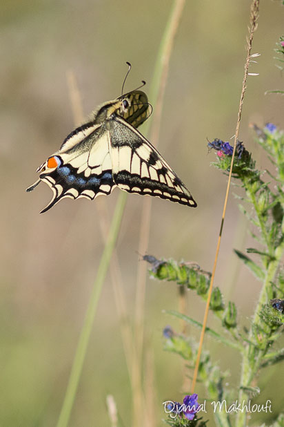 Machaon en vol (Papilio machaon) - Comment photographier les papillons en vol ?