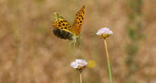Photographier les papillons en vol (Tabac d'Espagne)